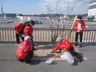 宇野港の桜公園桜の並木道の施肥を実施